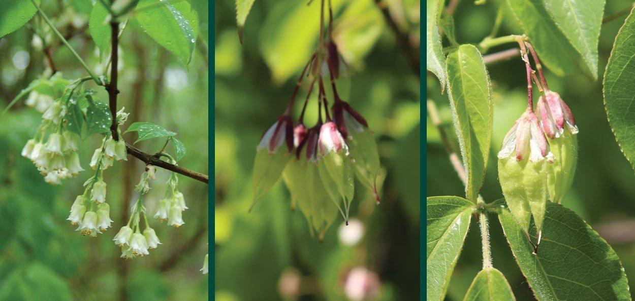 bladdernut staphylea trifolia wisconsin native shrub at johnson's nursery white spring flowers turning to fruit