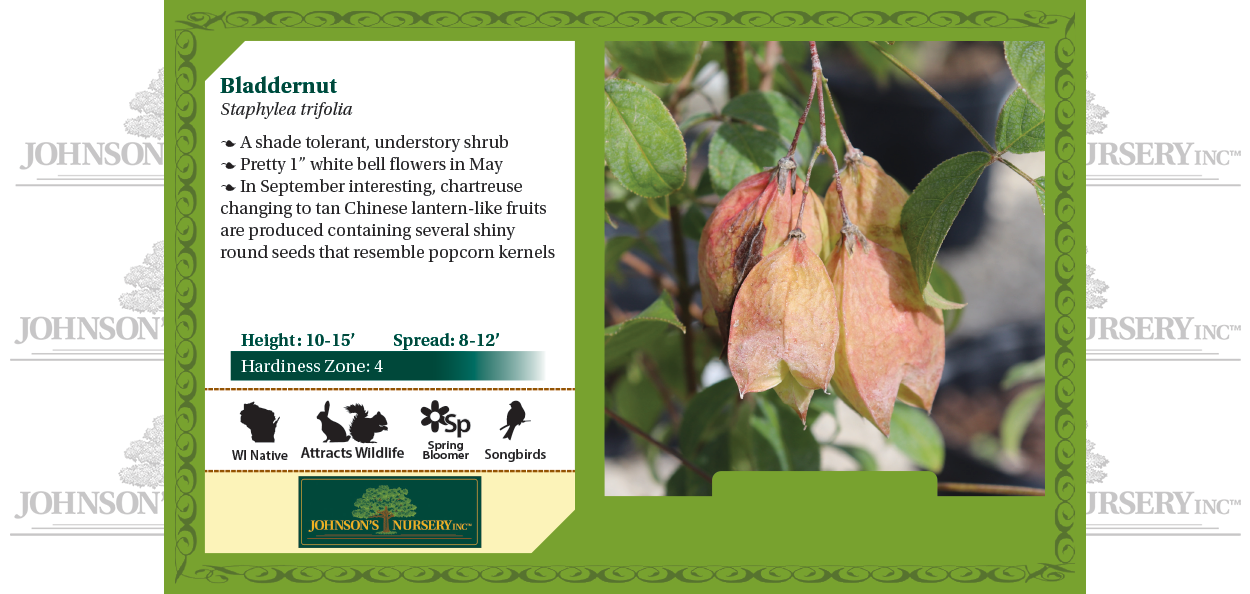 bladdernut staphylea trifolia wisconsin native shrub johnson's nursery benchcard