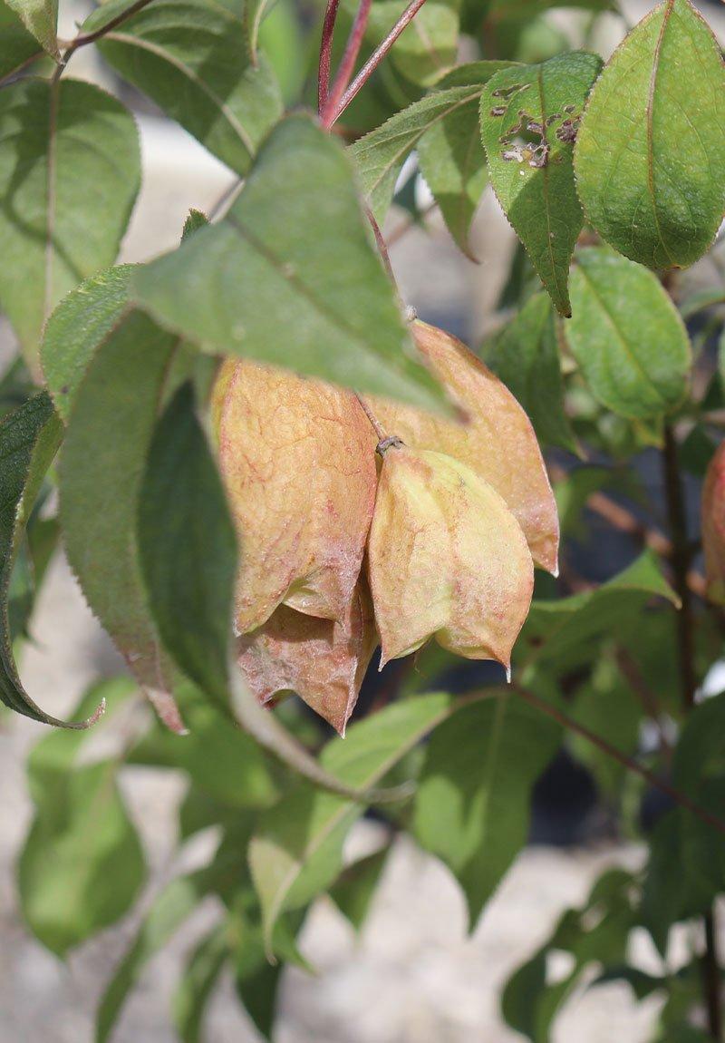 bladdernut staphylea trifolia wisconsin native shrub johnson's nursery ftimg2