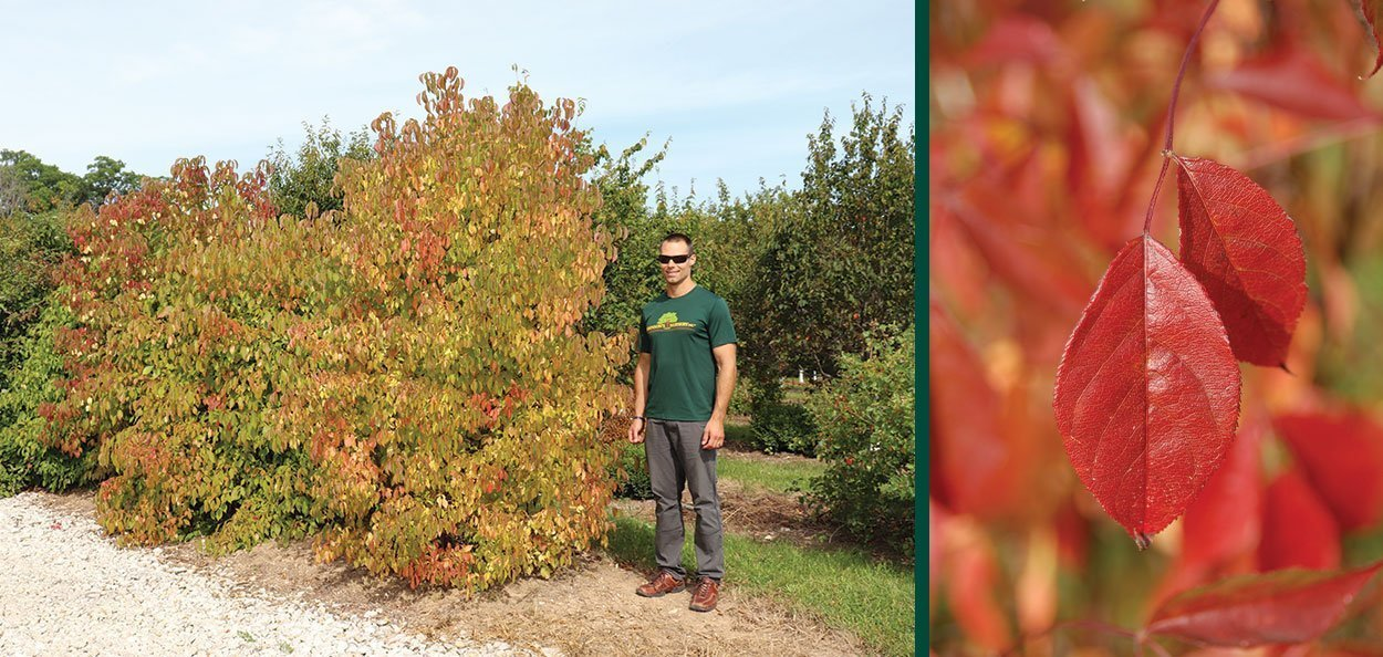 bladdernut staphylea trifolia wisconsin native shrub rob at johnson's nursery with red fall color leaf