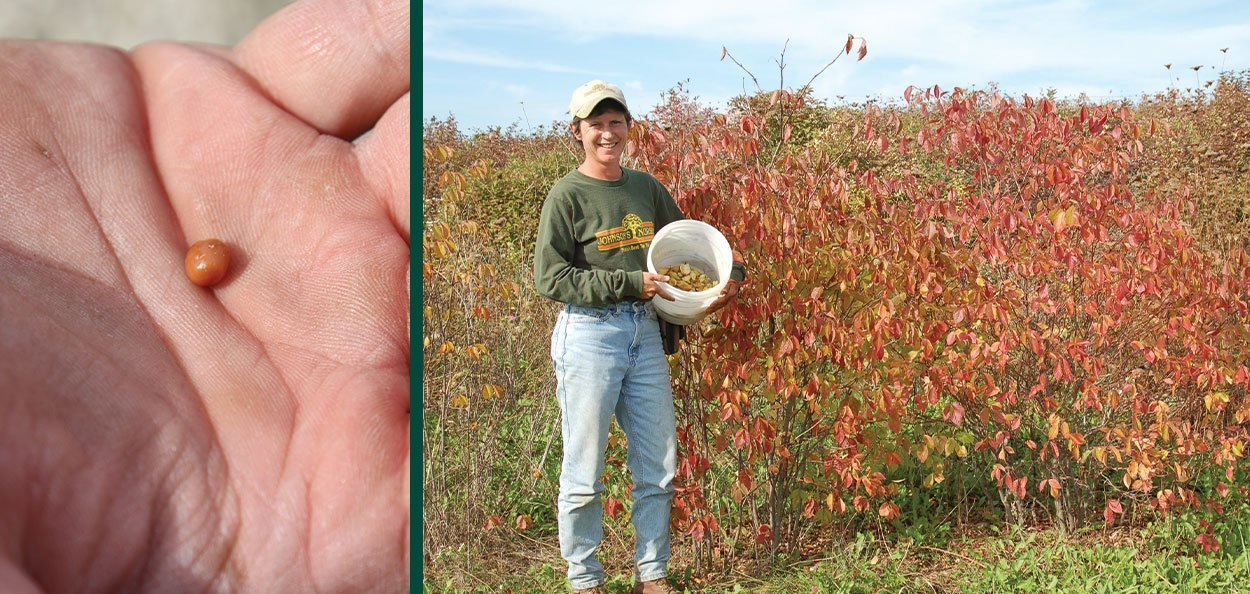 bladdernut staphylea trifolia wisconsin native shrub seed and lynn with fall color