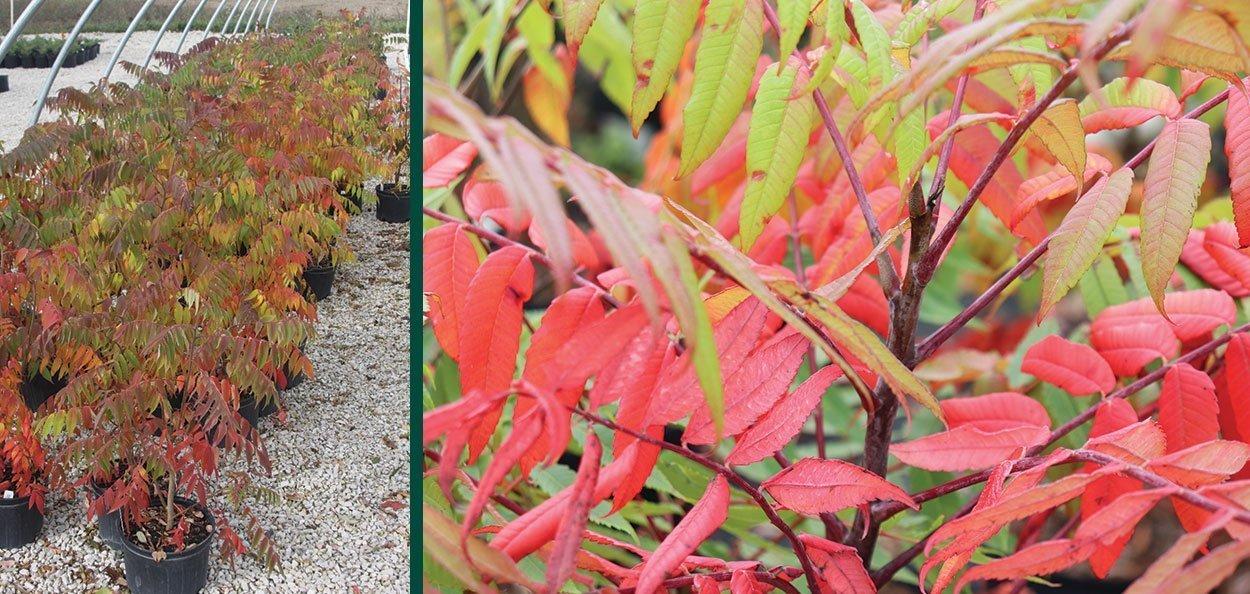 buy staghorn sumac rhus typhina wisconsin native shrub for sale at johnson's nursery menomonee falls