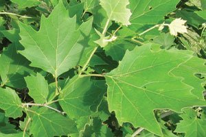 exclamation london planetree platanus acerfolia morton circle catalog