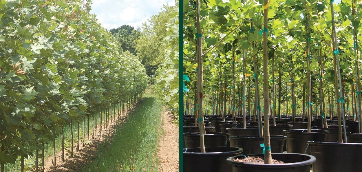 field and container grown exclamation london planetree platanus acerfolia morton circle at johnson's nursery