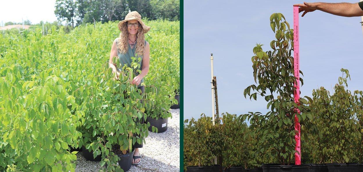 find bladdernut staphylea trifolia wisconsin native shrub for sale at johnson's nursery in menomonee falls