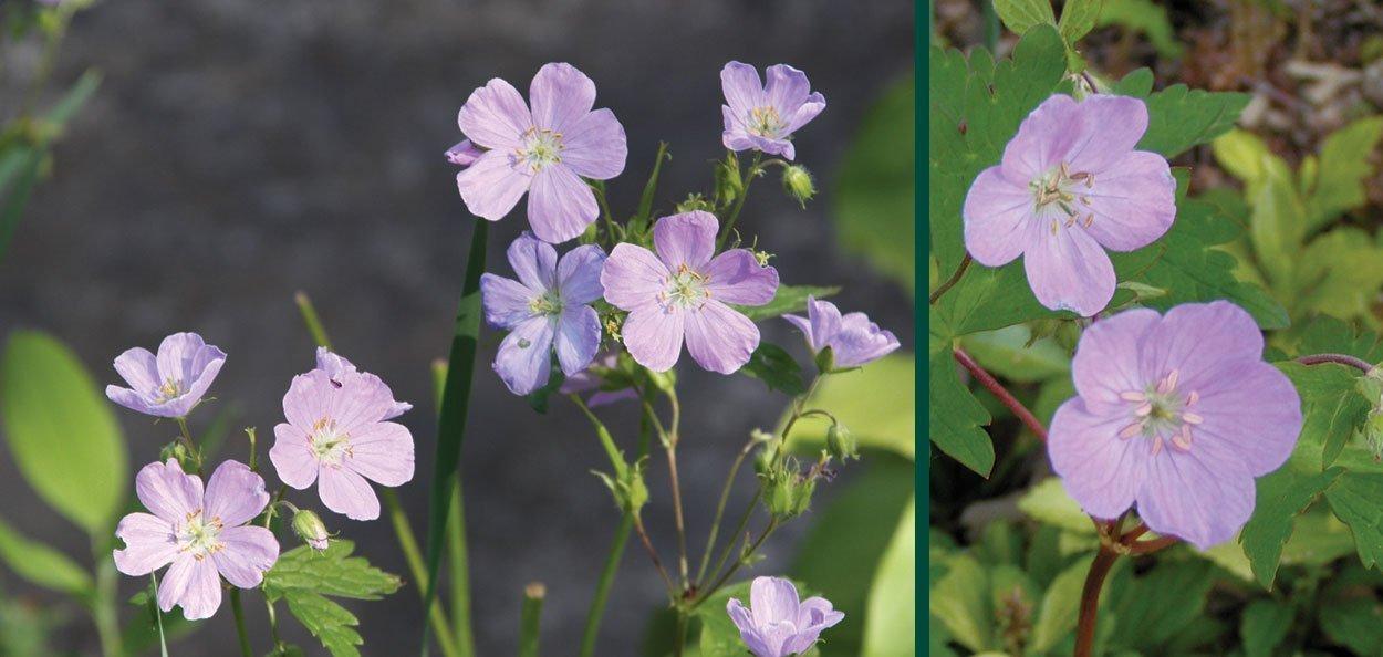 find pink spring flowers on wild native geranium macalatum at johnson's nursery menomonee falls