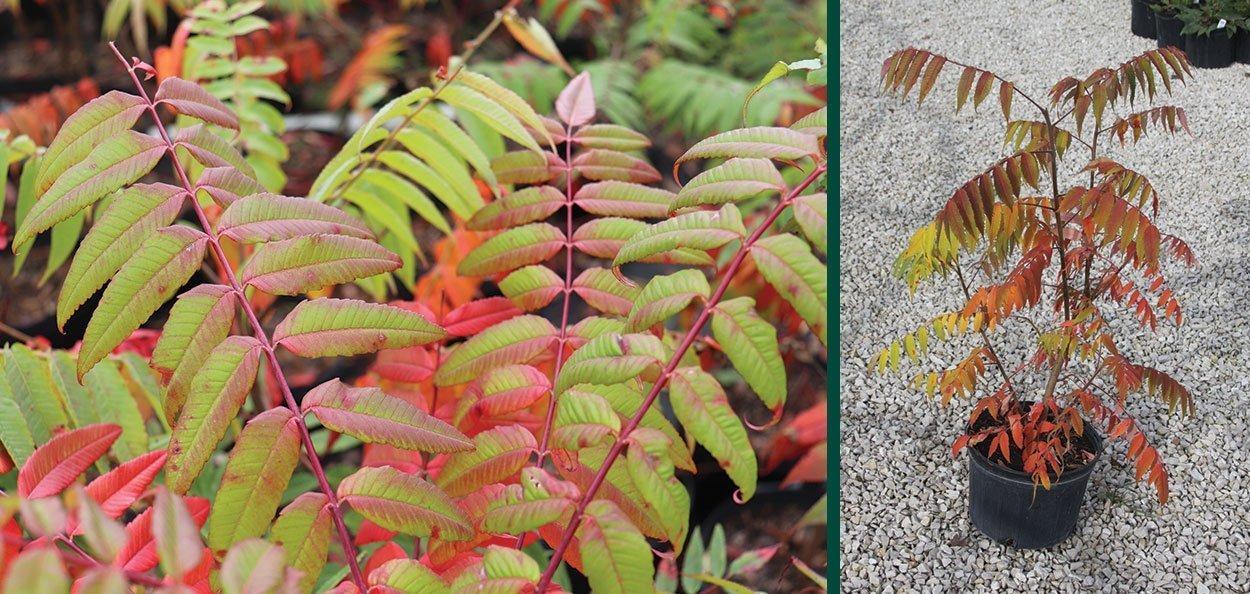 find staghorn sumac rhus typhina wisconsin native shrub for sale at johnson's nursery menomonee falls