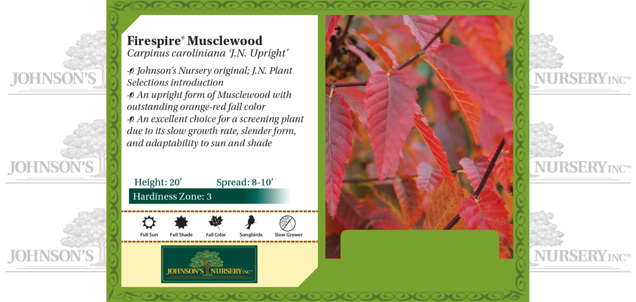 Firespire® Musclewood Carpinus caroliniana 'J.N. Upright' benchcard