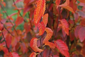Firespire Musclewood Carpinus caroliniana is an upright form tree outstanding fall color and smaller growth habit