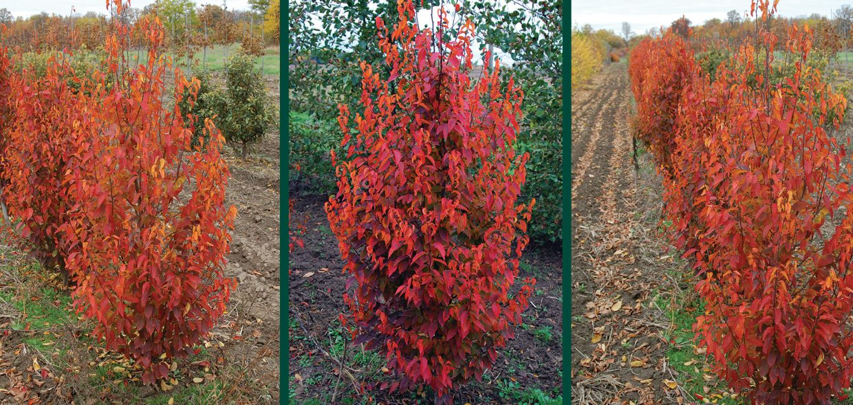 firespire musclewood carpinus caroliniana jn upright fall color