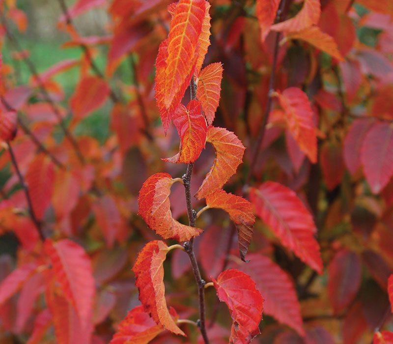 firespire musclewood carpinus caroliniana jn upright ftimg