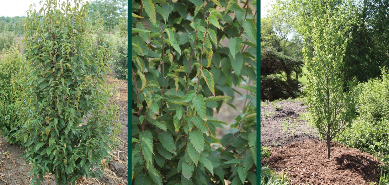 firespire musclewood carpinus caroliniana jn upright green foliage