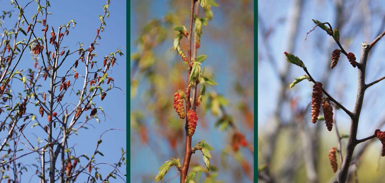 firespire musclewood carpinus caroliniana jn upright spring flower buds