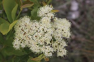 freedom witherod viburnum cassinoides jn select catalog
