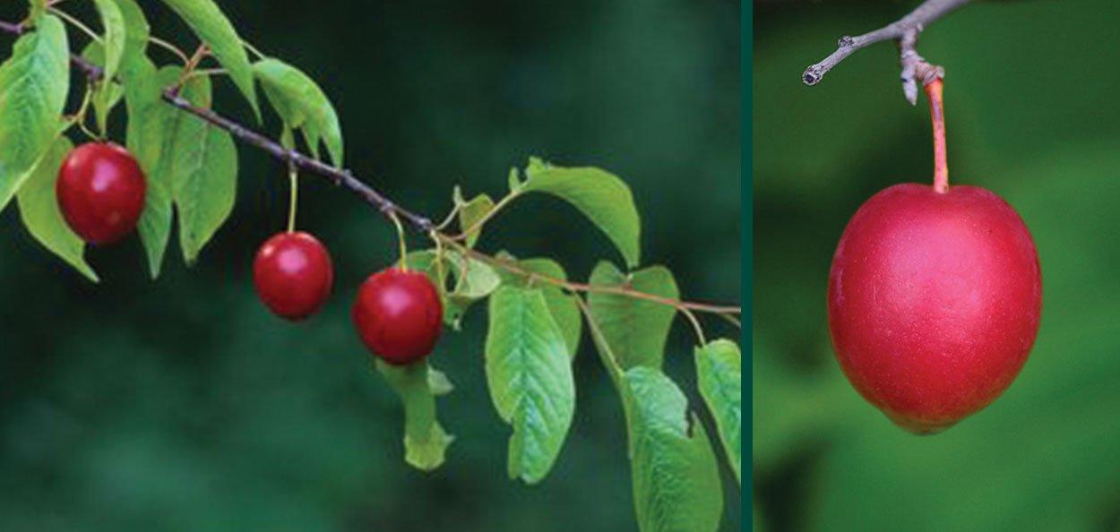 fresh summer plum fruit small red fruits on american plums prunus americana