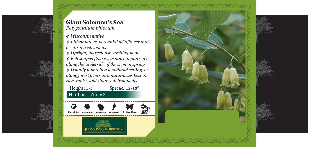 giant solomon's seal polygonatum biflorum wisconsin native woodland plant benchcard
