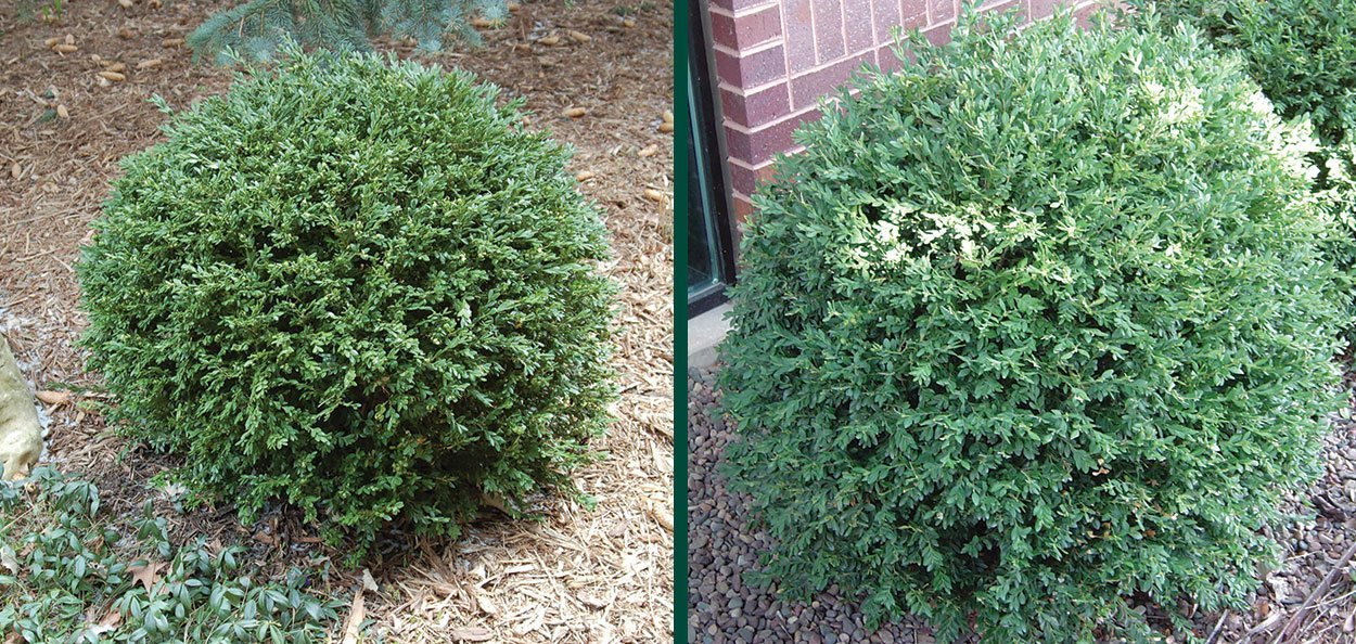 green gem boxwood buxus boxwoods near me in wisconsin