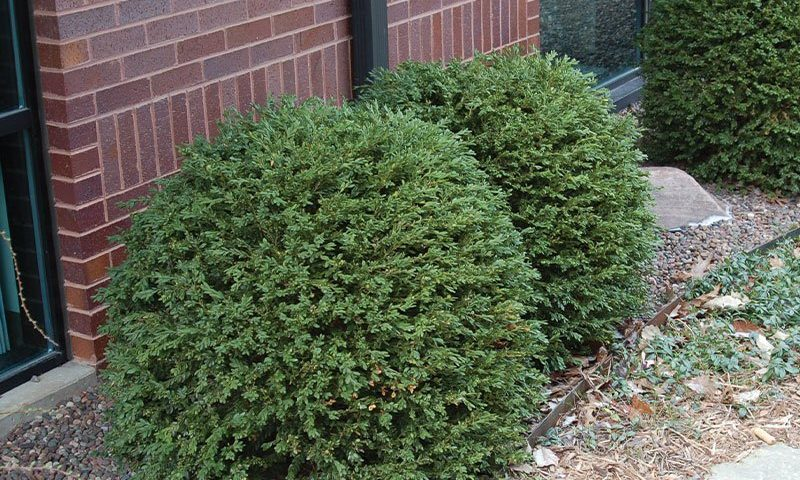 green gem boxwood buxus broadleaf evergreens wisconsin ftimg
