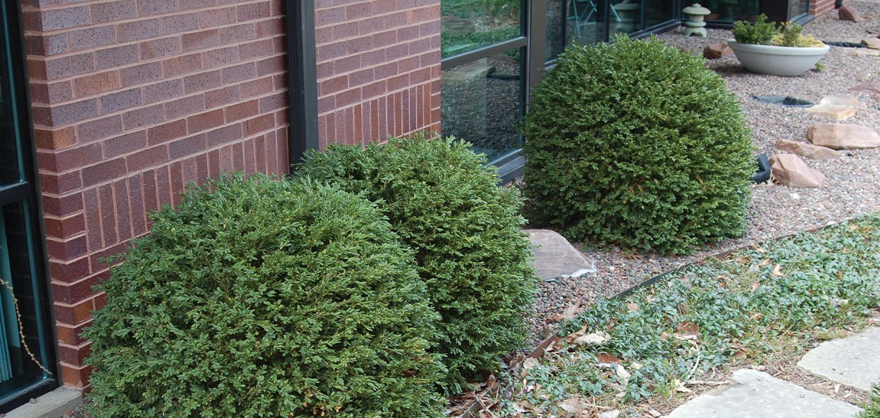 green gem boxwood buxus dwarf compact broadleaf evergreens