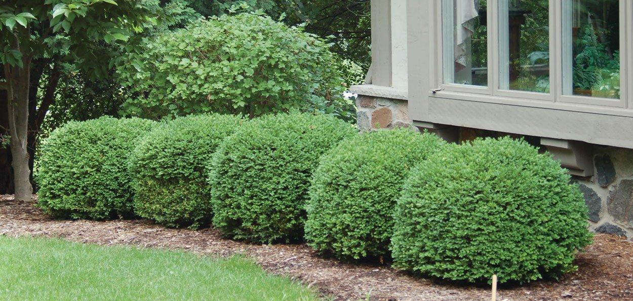 green velvet boxwood buxus broadleaf evergreens formal landscape hedging