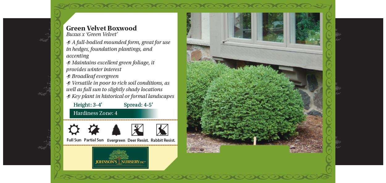 green velvet boxwood buxus broadleaf evergreens wisconsin benchcard