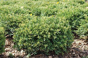 top selling evergreens green velvet boxwood buxus broadleaf evergreens wisconsin catalog