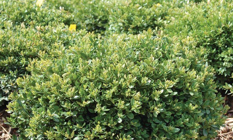 green velvet boxwood buxus broadleaf evergreens wisconsin ftimg