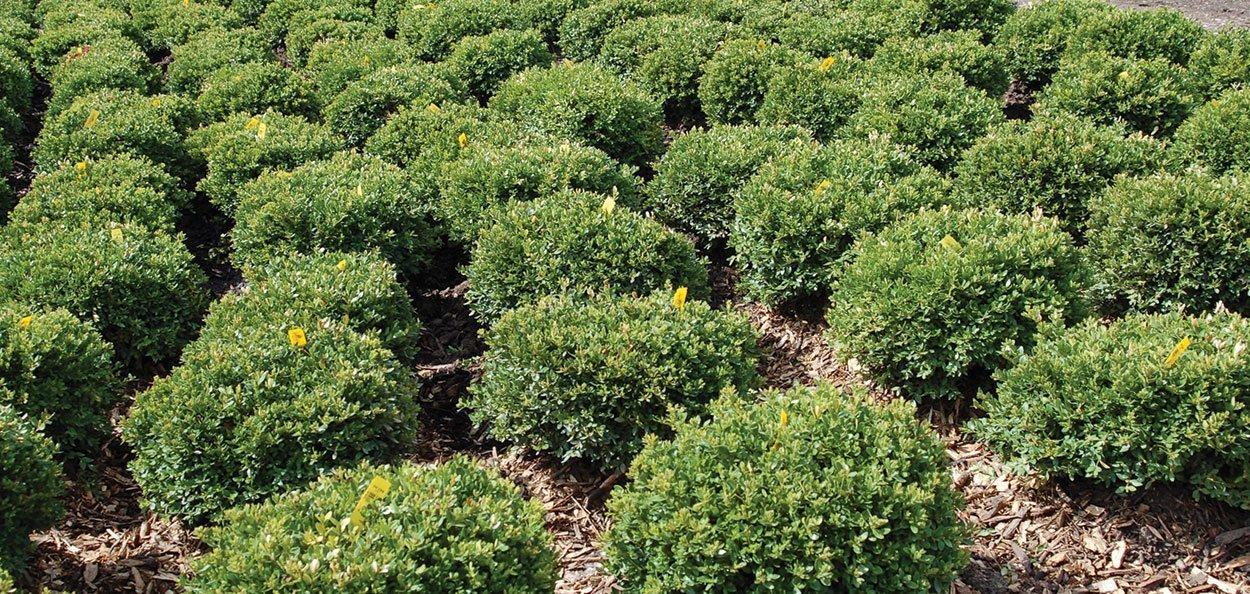 green velvet boxwood buxus broadleaf evergreens wisconsin milwaukee grower