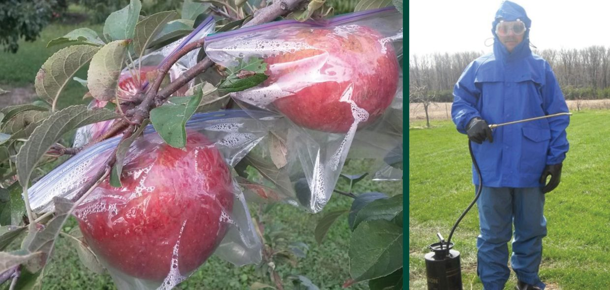 growing apple trees in wisconsin milwaukee midwest haralson in bags