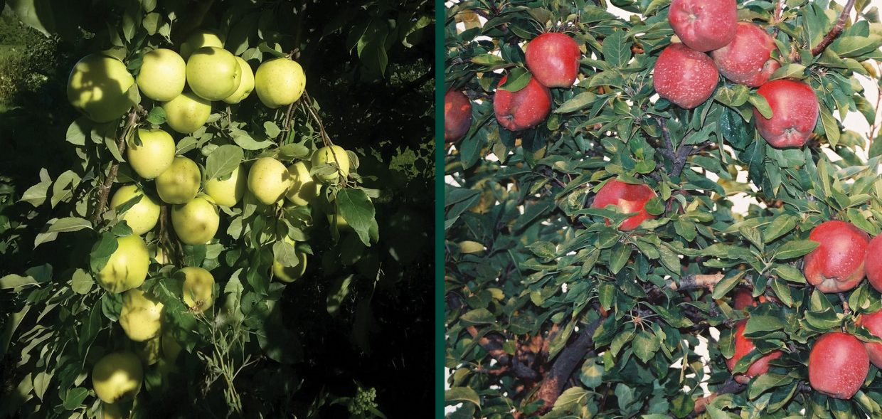 Growing Le Trees In Wisconsin Milwaukee Midwest Red Delicious