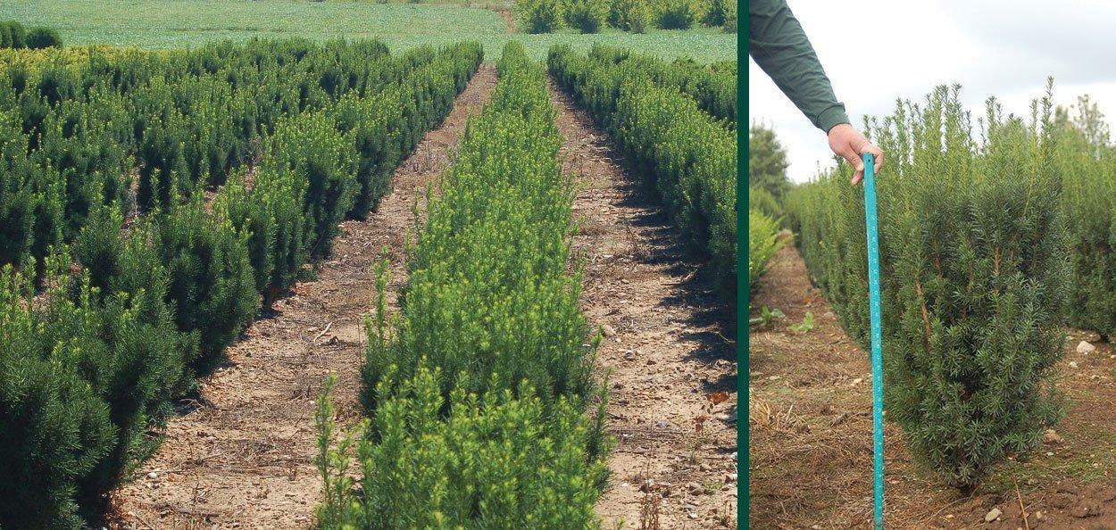 hicks yew taxus media hicksii find evergreens johnson's nursery wisconsin field grown plants