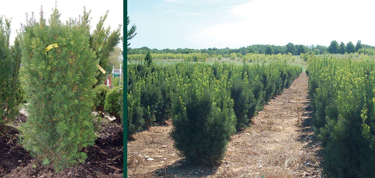 hicks yew taxus media hicksii find evergreens johnson's nursery wisconsin upright hedging plants