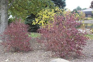 irish setter dogwood cornus racemosa amomum jn red stem catalog