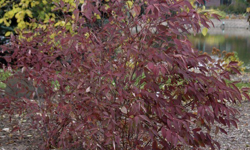 irish setter dogwood cornus racemosa amomum jn red stem ftimg