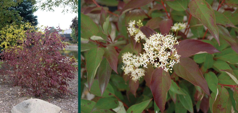 irish setter dogwood cornus racemosa amomum jn red stem milwaukee