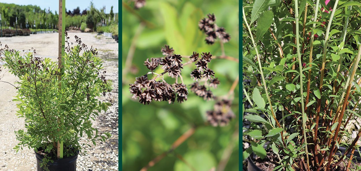 meadowsweet spiraea alba wisconsin native shrub johnson's nursery menomonee falls #2 container late spring