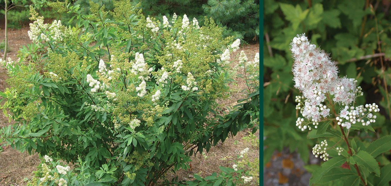 meadowsweet spiraea alba wisconsin native shrub johnson's nursery menomonee falls
