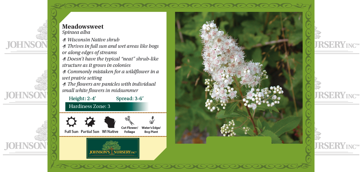 meadowsweet spiraea alba wisconsin native shrub white flower benchcard