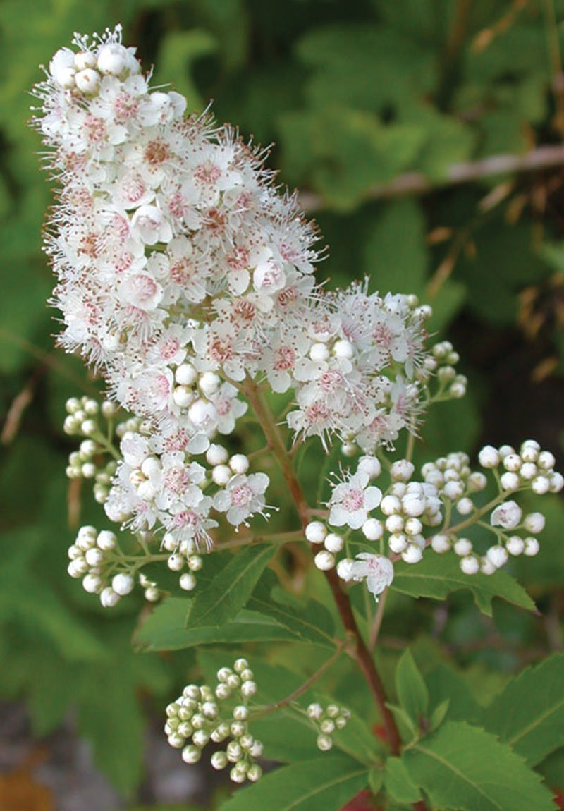 meadowsweet spiraea alba wisconsin native shrub white flower ftimg