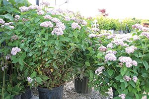pink-a-licious fritsch spiraea fritschiana jn select a catalog