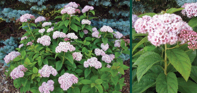 pink-a-licious fritsch spiraea fritschiana jn select a flower