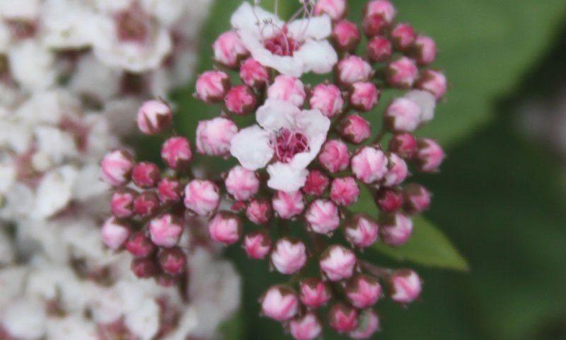 pink-a-licious fritsch spiraea fritschiana jn select a ftimg