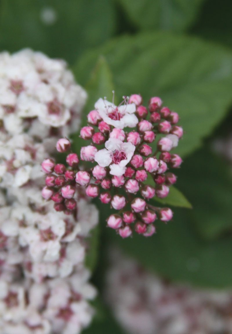 Pink A Licious Fritsch Spirea Knowledgebase Johnsons Nursery