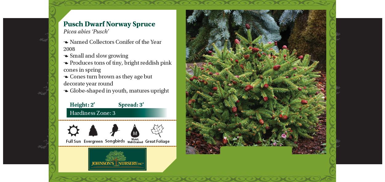 pusch dwarf norway spruce picea abies benchcard