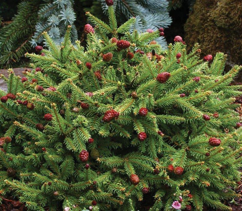 pusch dwarf norway spruce picea abies ftimg