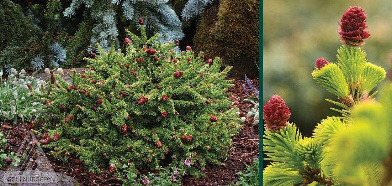 pusch dwarf norway spruce picea abies mini evergreen conifer asian garden zen