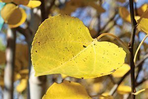 quaking aspen populus tremuloides wisconsin native tree catalog
