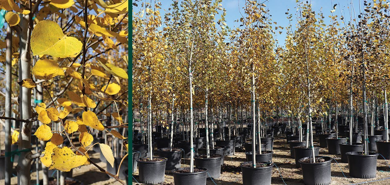quaking aspen populus tremuloides wisconsin native tree containers milwaukee