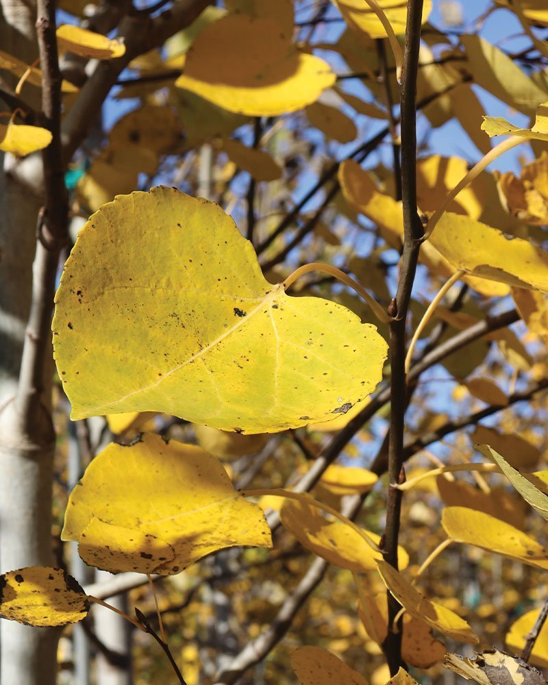 quaking aspen populus tremuloides wisconsin native tree ftimg