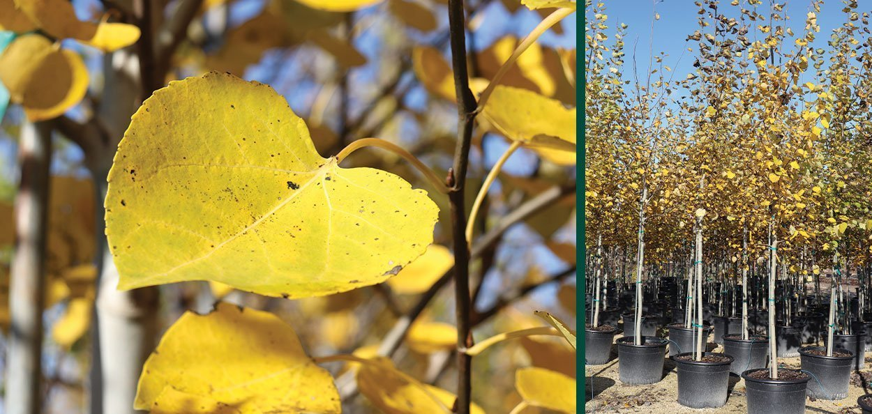 quaking aspen populus tremuloides wisconsin native tree yellow fall color plants